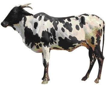 dangi female cow.jpg