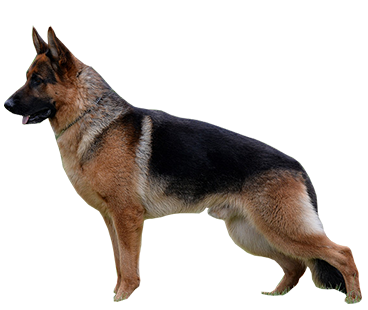 german-shepherd-(male).png