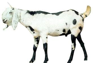 Beetal | Goat Information | Apni Kheti