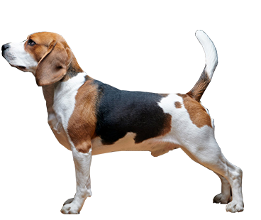 beagles-(male).png
