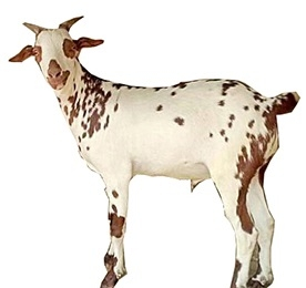 Barbari | Information About Goat Farming