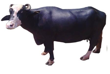 Nilli Ravi Bufallo