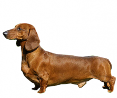 dachshund-(male).png