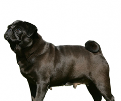 pug-(female).png