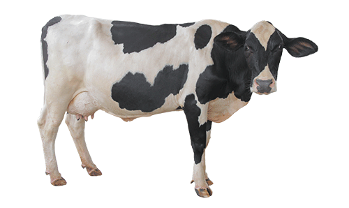HF-cow-female-breed.png