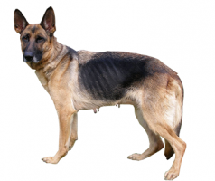 german-shepherd-(female).png