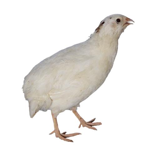 Chicken Breed Information | Poultry Farming | Apni Kheti