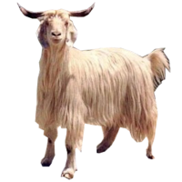 Gaddi Sheep Breed India