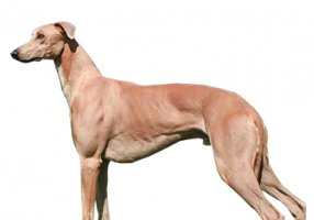greyhound-(male).png