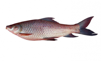 Rohu Fish Care