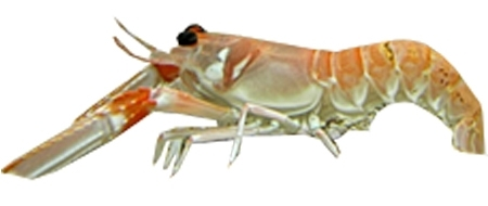 Scampi Crustaceans Fish Breed