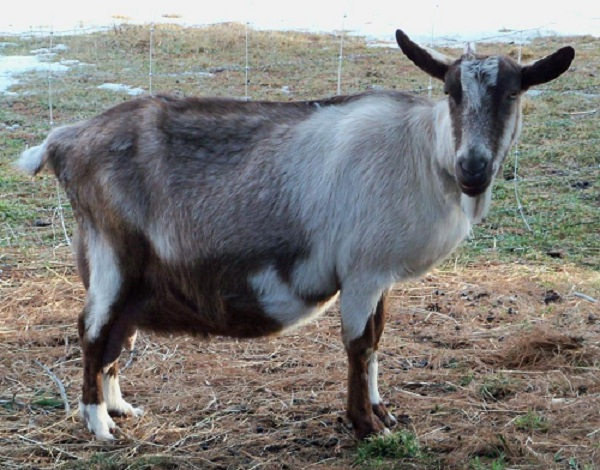 Sojat Goat | Breed Information | Apni Kheti