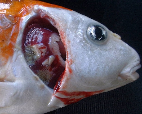 Magur Catfish | Fish Species | Apni Kheti